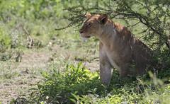 Here she comes again ... (AnyMotion) Tags: lion löwe pantheraleo female cat katze watching beobachtend flies fliegen mondayface 2018 anymotion ndutu ngorongoroconservationarea tanzania tansania africa afrika travel reisen animal animals tiere nature natur wildlife 7d2 canoneos7dmarkii