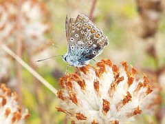 It's all over now, baby blue (martindove) Tags: common blue butterfly imago nature wildlife outdoors insect lepidoptera july summer springwatch wasteland
