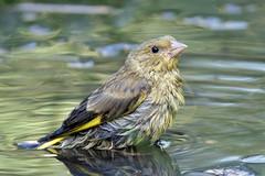 Greenfinch (NickWakeling) Tags: greenfinch norfolk weetingheath canoneos7dmarkii sigma150600mmf563dgoshsmcontemporary
