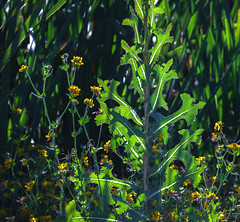 Even a big weed has it's day in sun (Barb Henry) Tags: weeds plants sunny shadows grasses flowers nature greens summer