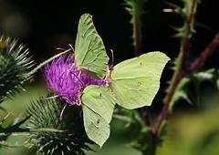 3 (Hugo von Schreck) Tags: hugovonschreck zitronenfalter gonepteryxrhamni macro makro insect insekt canoneos5dsr tamron28300mmf3563divcpzda010