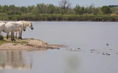 Chevalier arlequin contre 4 chevaux de Camargue - IMBF3221 (6franc6) Tags: réserve pontdegau 13 camargue bouchesdurhône france 6franc6 juin 2018