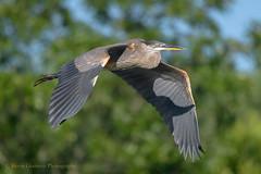 Great Blue (Kevin James54) Tags: lakegalena nikond850 peacevalleypark tamron150600mm animals ardeaherodias avian bird greatblueheron heron kevingianniniphotocom