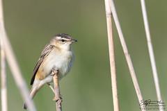 Reed Warbler posing 1 (One Macey) Tags: warbler reedwarbler stephenmace stephenmacephotography framingwildlife nikond500 nikon sigma150600 bird