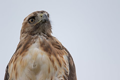 _D2_8210.jpg (rdelonga) Tags: buteojamaicensis redtailedhawk