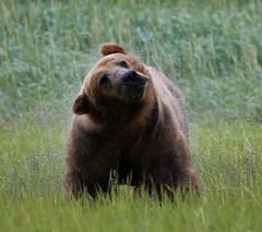 Alaska110 (lorstierlen) Tags: kodiak katmai nature bears wildlife seal