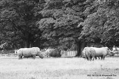 Rhinoceros P1350361 (Pitzy's Pyx, keep snapping away!.) Tags: whipsnadezoo bivg big lumixfz1000 bnhs bnhsvisit rhinoceros