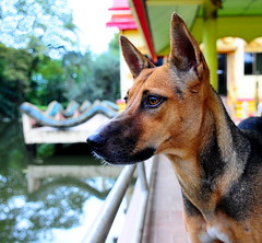 ,, Angel Eyes ,, (Jon in Thailand) Tags: red yellow green blue dogeyes dogears angeleyes dognose swamp reflections themonkeytemple nikon d300 nikkor 175528 jungle handrail k9 templedog dog littledoglaughedstories