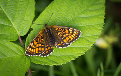 Warming up (music_man800) Tags: melitaea athalia heath fritillary butterfly butterflies uk united kingdom nature natural light wildlife flora fauna reserve woods hockley forest woodland species walk essex may june summer 2018 orange patterned pretty beautiful specimen warming up basking morning bramble leaf clearing canon 700d adobe lightroom creative cloud edit sigma 150mm macro prime lens focus frame outdoors outside hike small life sun rare