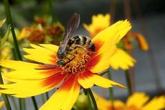 Leafcutter bee (Jim Atkins Sr) Tags: leafcutterbee bee megachile tickseedcoreopsis insect flower macro closeup panasonic fz80