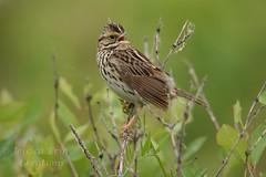 Savannah Sparrow - Passerculus sandwichensis (jessica.rohrbacher) Tags: sandwichensis passerculus sparrow savannah bird avian spring passerellidae calgary alberta canada
