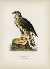 Goshawk (Accipiter gentilis) illustrated by the von Wright brothers. Digitally enhanced from our own 1929 folio version of Svenska Fåglar Efter Naturen Och Pa Sten Ritade. (Free Public Domain Illustrations by rawpixel) Tags: photo publicdomain otherkeywords abstract accipitergentilis america ancient animal antique artwork bird cc0 creativecommon0 creativecommons0 drawing drawn goshawk handdrawn hawk illustrated illustration name northamerica old painting sketch style texture vintage vonwright vonwrightbrothers wild wildlife