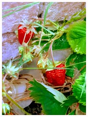 Strawberry tea to come (liss.cook) Tags: red fruit strawberry