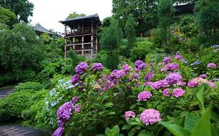After the rain / Yoshimine-dera  Hydrangeas Garden ,Kyoto