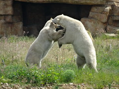 "Sparring match (LadyRaptor) Tags: yorkshirewildlifepark yorkshire wildlife park doncaster ywp nature outdoors spring summer time summertime warm sunny sun shine grass flowers rocks rocky cave den lair shelter sparring fight fighting wrestling pushing play playing playful happy content fun ""best friends"" bffs besties bromance friends friendly cute animal animals predator carnivore caniformia ursidae polarbear polarbears male polar bear bears ursusmaritimus projectpolar pixel nissan"