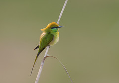 Green  bee-eater (Arshad Aashraf) Tags: animal animalthemes animalwildlife art beautyinnature background birdlove birdwatching birds colors colorimage enivormentalconversation feather green greenbeeeater natualpics natural naturalworld naturephotography pattern preaching sialkot wildlife wildlifephotography