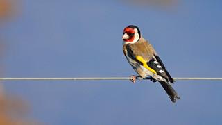 Pintassilgo, European Goldfinch (Carduelis carduelis)