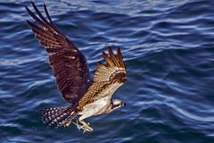 Time to Feed the Family (lightonthewater) Tags: ocean osprey ospreyinflight gulfofmexico fish feathers wings flying flight birdinflight birdofprey