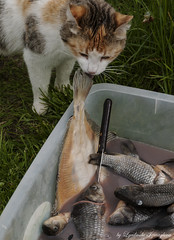Petty thief (Lyutik966) Tags: fish cat water knife grass animal dish village nazimovo russia