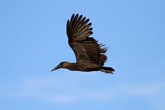 Scopus umbretta (Hamerkop) - Entebbe Uganda (Nick Dean1) Tags: scopusumbretta hamerkop animalia chordata thewonderfulworldofbirds birdperfect birdwatcher uganda lakevictoria entebbe