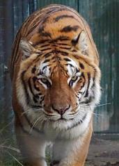 Valesca - Walking up (Rasenche) Tags: animal carnivore cat mammal bigcat annapaulowna stichtingleeuw tiger panthera tigris altaica mammalia