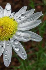 Rain in Finland (jaaselin) Tags: suomi finland finlandsnature nature pirkkala taivas sataa rainyday päiväkakkara vesipisarat raindrops rain green kukkia flowers plants sonyrx100 luontokuvaus sadepäivä
