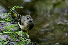 bergeronnette des ruisseaux ( Motacilla cinerea ) Brech 180625g2 (papé alain) Tags: oiseaux passereaux motacillidés bergeronnettedesruisseaux motacillacinerea greywagtail brech bretagne france
