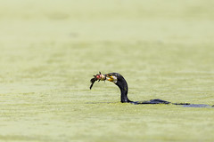 Poisson sanglant - Spookyfish (bboozoo) Tags: oiseau bird nature animal wildlife cormoran cormorant poisson fish sang blood lac lake canon6d tamron150600