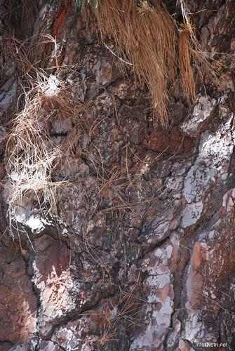 Найстаріша канарська сосна, Тенеріфе, Канари  InterNetri  17