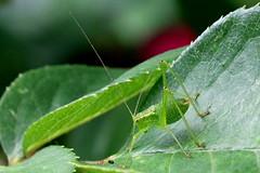 Speckled Bush Cricket-IMG_6183-001 (cherrytree54) Tags: insect cricket speckledbushcricket canon 70d 24105 canonef24105mmf4lisusm