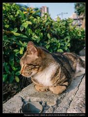 20170404-170907-GM5 (YKevin1979) Tags: cat 貓 lumix gm5 dmcgm5 mft microfourthird 15mm f17 leica15mmf17 leicadgsummilux15mmf17asph summilux leica