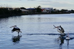 The landing and the takeoff! (The Pocket Rocket, On and Off.) Tags: australianpelican pelecanusconspicillatus barwonriver oceangrove victoria australia