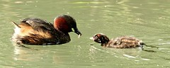 my turn now (westoncfoto) Tags: cromfordcanal matlock derbyshire canal industrial dabchick littlegrebe babies fish
