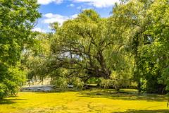 Green pond (Rick Heffren) Tags: polarizer summer daylight canada ontario t5i efs1585isusm canon tree bluesky algae pond landscape green vivid
