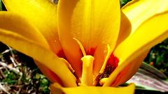 """Z albumu """"Tulipany"""" (andrzejskałuba) Tags: polska poland pieszyce dolnyśląsk silesia sudety europe panasoniclumixfz200 roślina plant kwiat flower tulipan tulip yellow żółty zieleń green garden ogród grass trawa macro beautiful color"""