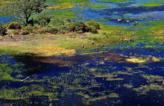 Okavango Delta, Botswana (klauslang99) Tags: klauslang nature naturalworld okavangodelta botswana africa water grass animals zebras landscape flooded ngc
