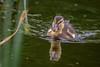 2H4A6481 (.FB.com/WildeBoerPhotography) Tags: duck eend animal birds birdwatching bird vogel vogels cwildeboerphotography wwwwildeboerphoto wwwfacebookcomwildeboerphotography wwwinstagramcomdeboerit canon5dmarkiv sigma150600mmf50f63c
