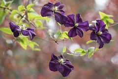 Quelques clématites du jardin ***-- ----° (Titole) Tags: clematis clématite violet purple titole nicolefaton storybookwinner challengegamewinner thechallengefactory