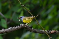 Mourning Warbler (Kremlken) Tags: warblers breeding westernpa birds birding nikon500 stategamelands feeding nesting