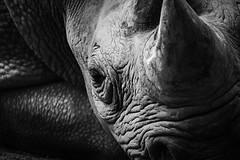 Rhino 18-06-18 (1) (R.J.Boyd) Tags: chester zoo wildlife north northwest england animal park mammals rhino rhinocerous horns grey