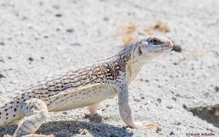 A muscular reptile