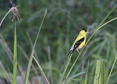 Gold Finch (dougwest403) Tags: goldfinch