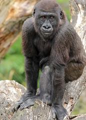 western lowlandgorilla Blijdorp JN6A9127 (j.a.kok) Tags: gorilla westelijkelaaglandgorilla westernlowlandgorilla animal africa afrika aap ape blijdorp mammal zoogdier dier monkey mensaap primate primaat