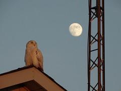 Watching the sunset (Vreni Beeler) Tags: snowyowl