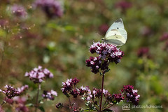 butterfly trail 01.07.2018 -p4d-0106 (event-photos4dreams (www.photos4dreams.com)) Tags: gersprenz münster hessen germany naturschutz nabu naturschutzgebiet photos4dreams p4d photos4dreamz nature river bach flus susannahvictoriavergau susannahvvergau eventphotos4dreams butterfly butterflies canoneos5dmarkiii schmetterling schmetterlinge