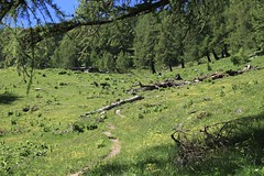 arrivée à Quieu (bulbocode909) Tags: valais suisse ovronnaz quieu alpages montagnes nature forêts arbres mélèzes sentiers troncs vert bleu paysages