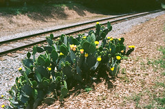 Cactus Flowers at RR   Nikon S3 film test (Neal3K) Tags: ga georgia hampton kodakektar100 nikons335mmfilmcamera rr railroad tracks cactus cactusflowers