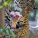 Jaguar and bone