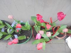 1401 (en-ri) Tags: tulipani rosa verde foglie leaves sony sonysti vasi pots