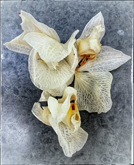 the end of an era..bye bye orchid babies (india_snaps) Tags: macroflowerphotography macrophotography macro orchids
